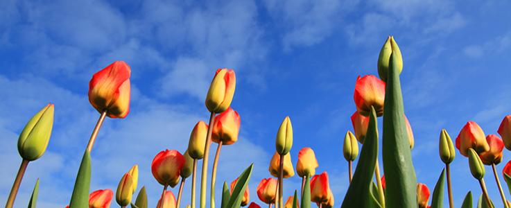 Slider – Tulpen